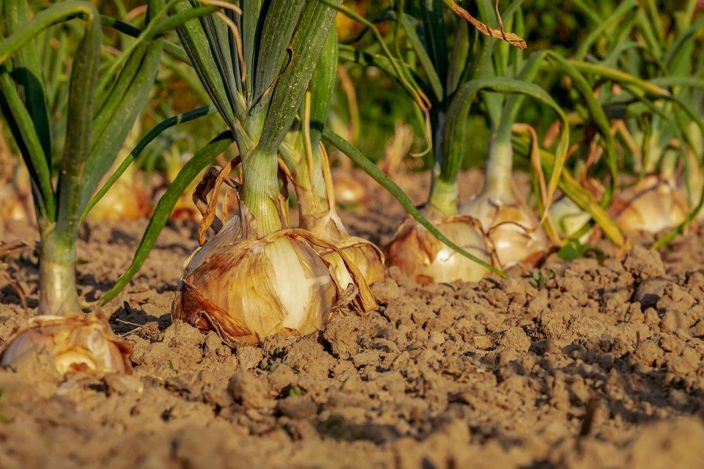 cipolle pronte per la raccolta