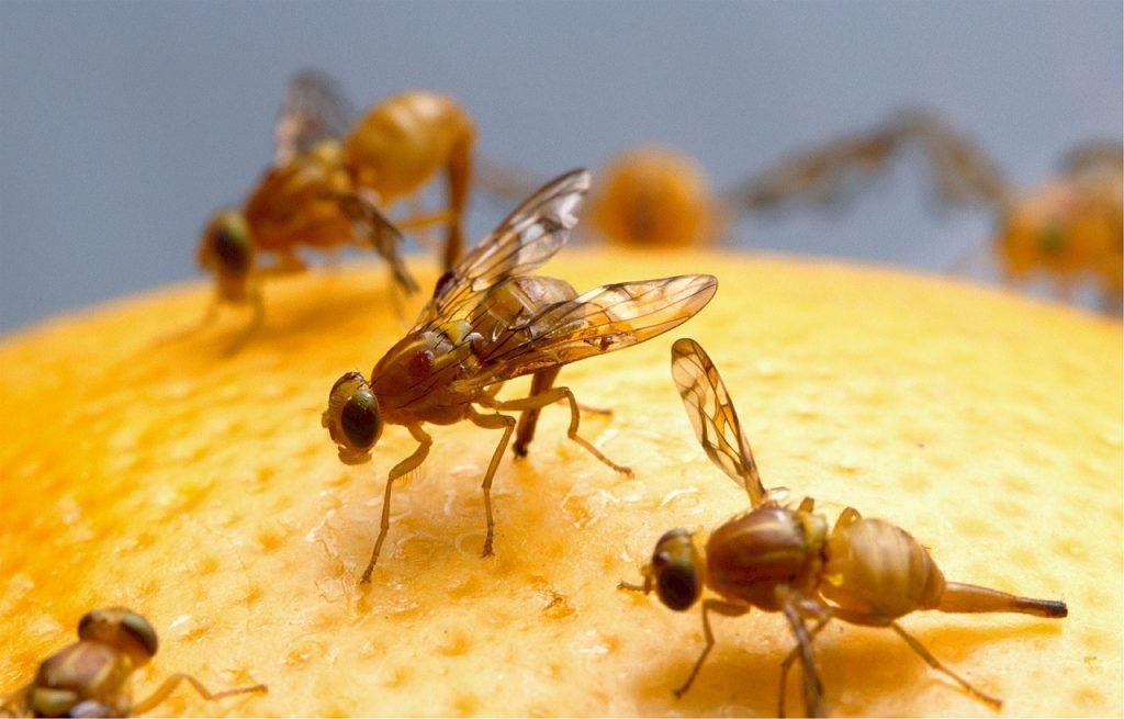 moscerini della frutta