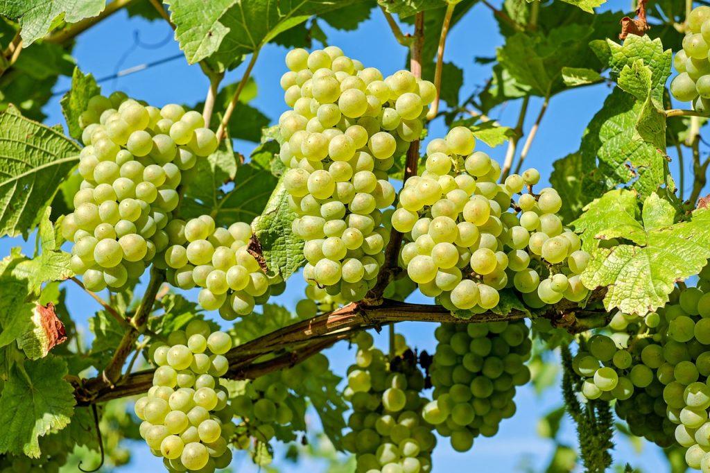 pianta uva