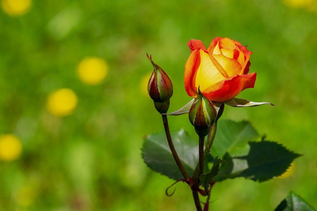 rosa che sboccia