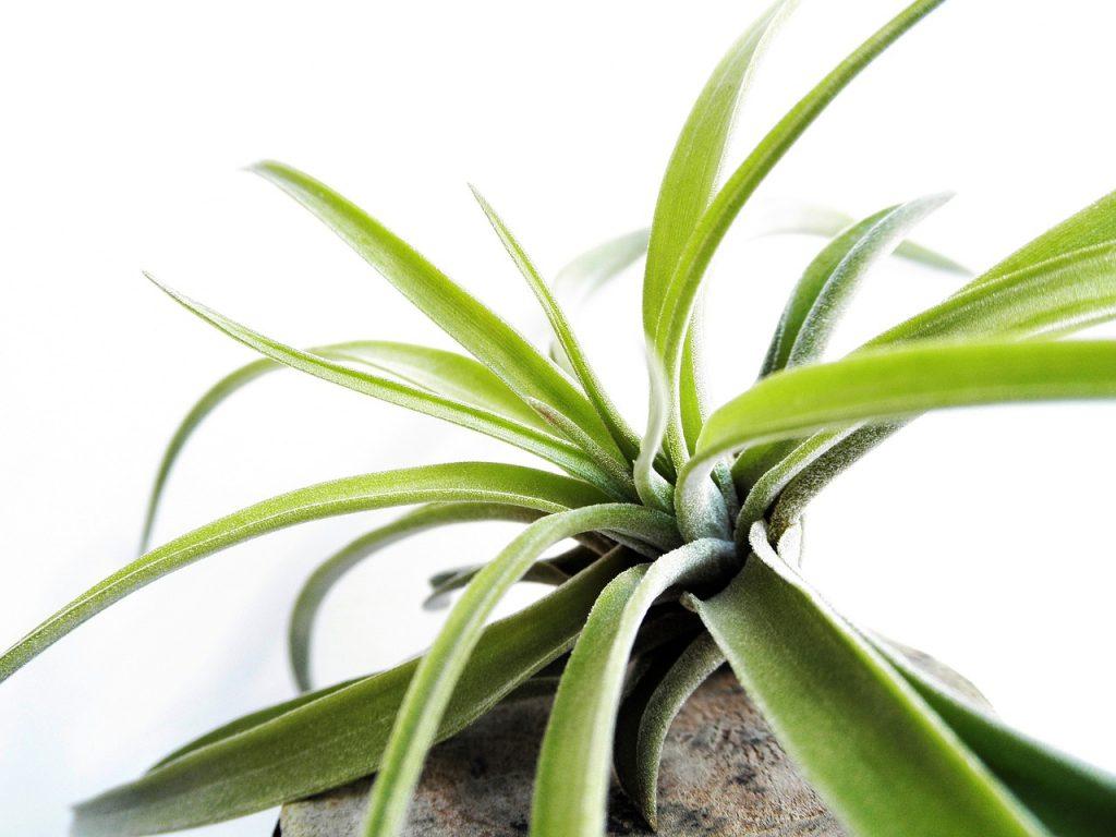 Tillandsia pianta d'aria