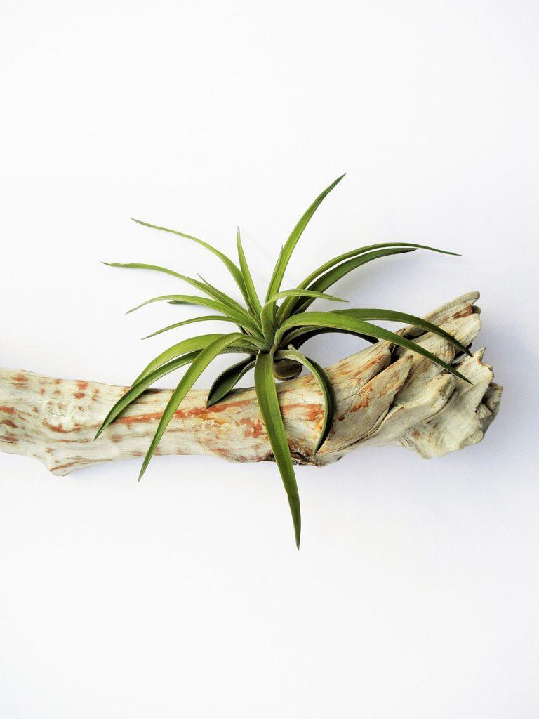 Tillandsia pianta senza terra