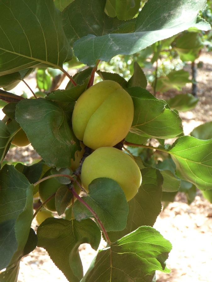 Albero di albicocco con i frutti acerbi