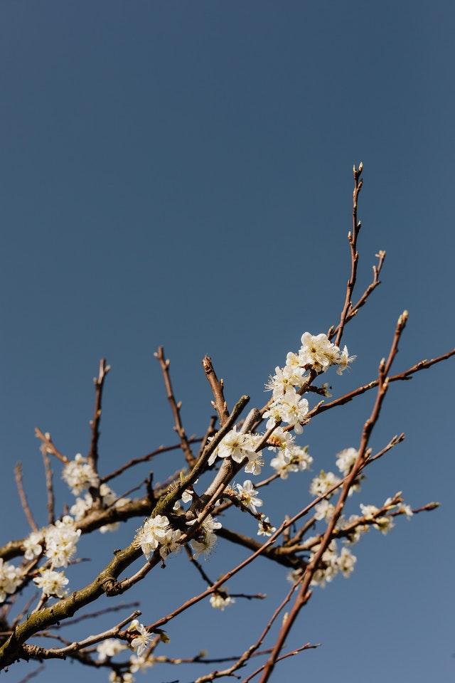 Albero di albicocco in fiore