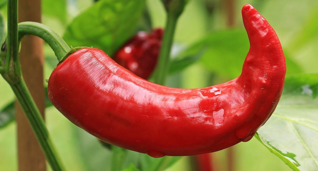 Come piantare la pianta del peperoncino