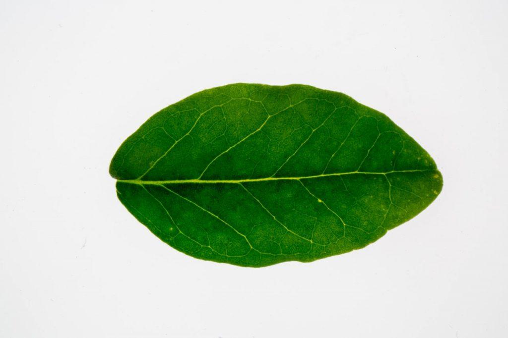 Foglia pianta di boldo