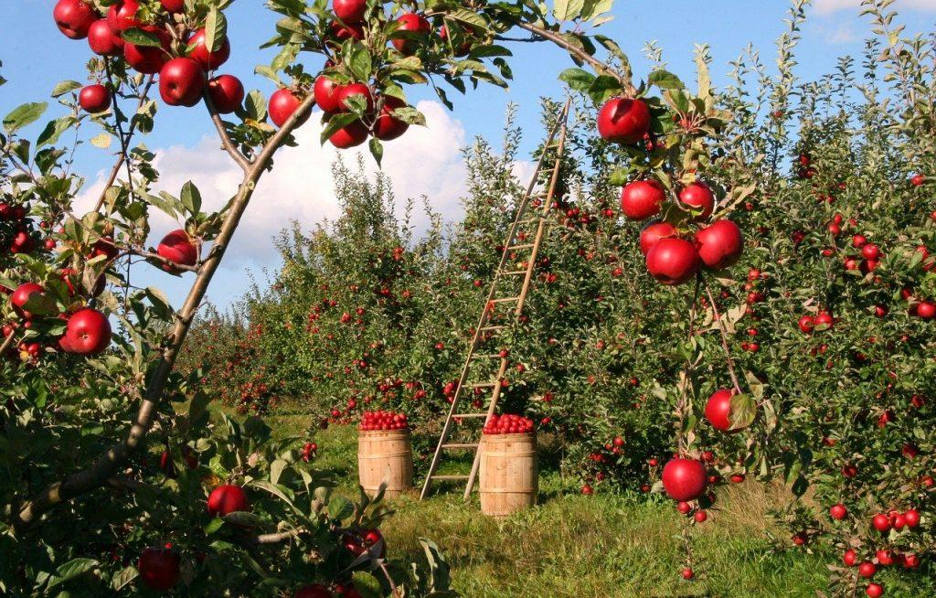 Fruttetto con piante di melo rosso