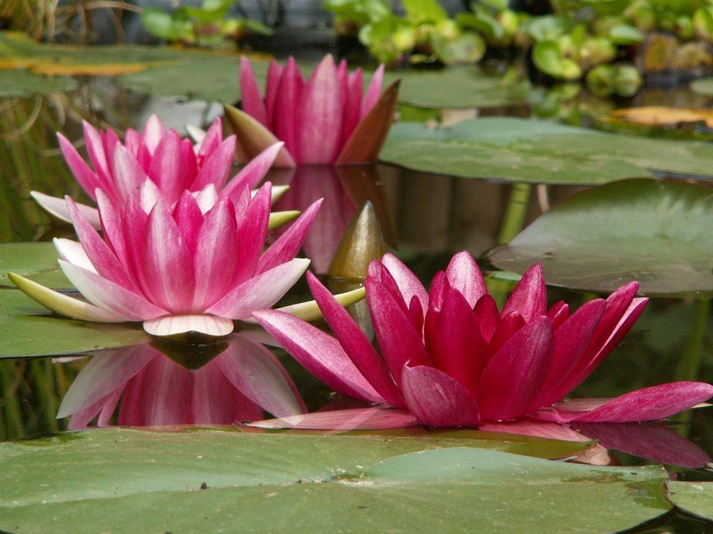 Ninfea rosa in un laghetto