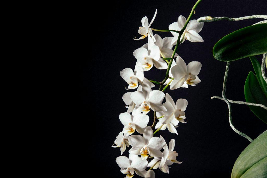 Orchidea con fiori bianchi