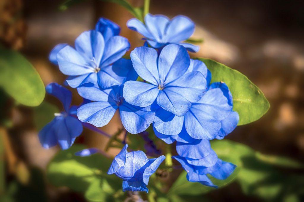 Pianta di gelsomino con fiori blu