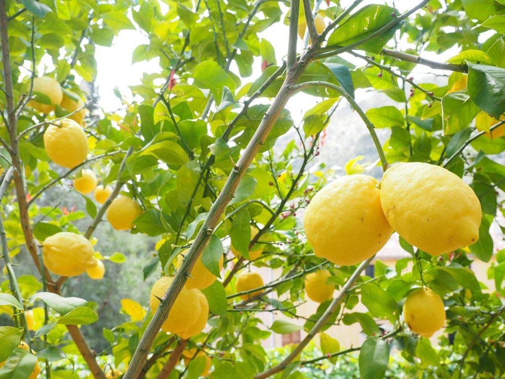 Pianta di limone con i suoi frutti
