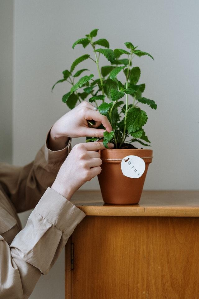 Pianta di menta coltivata in un vaso di terracotta
