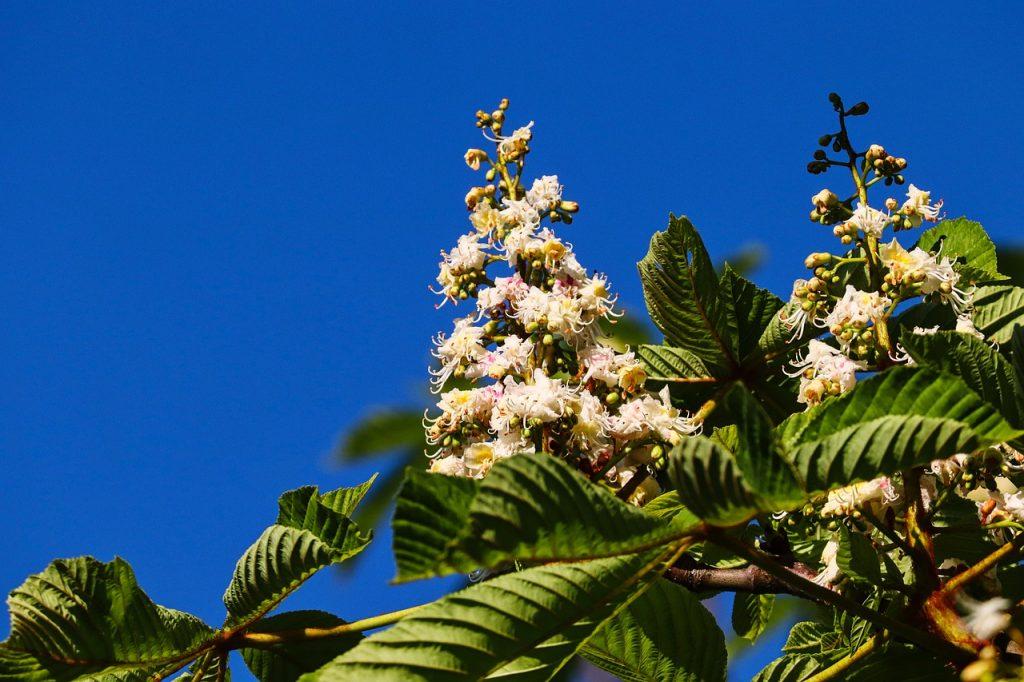 Pianta mellifera - pianta del castagno
