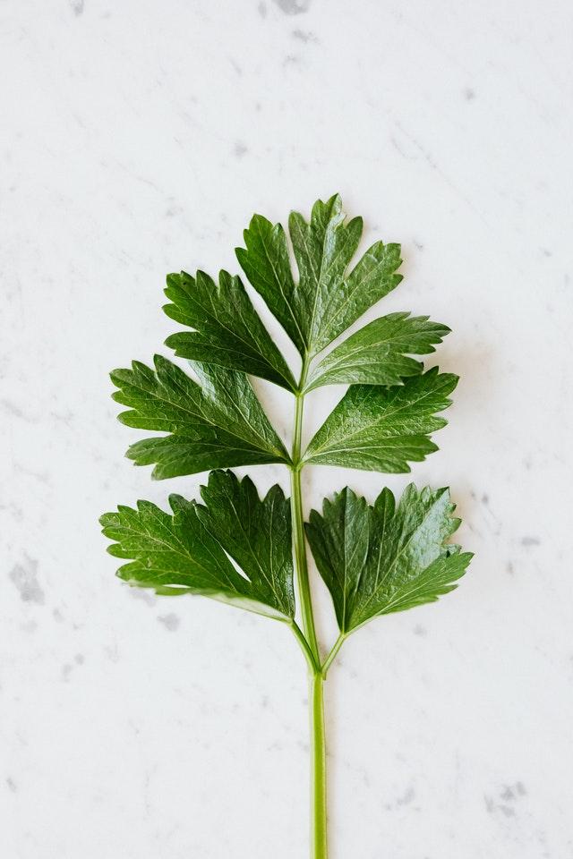 Ramo di prezzemolo con stelo e foglie