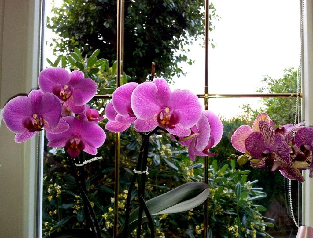 orchidee in fiori con foglie pulite