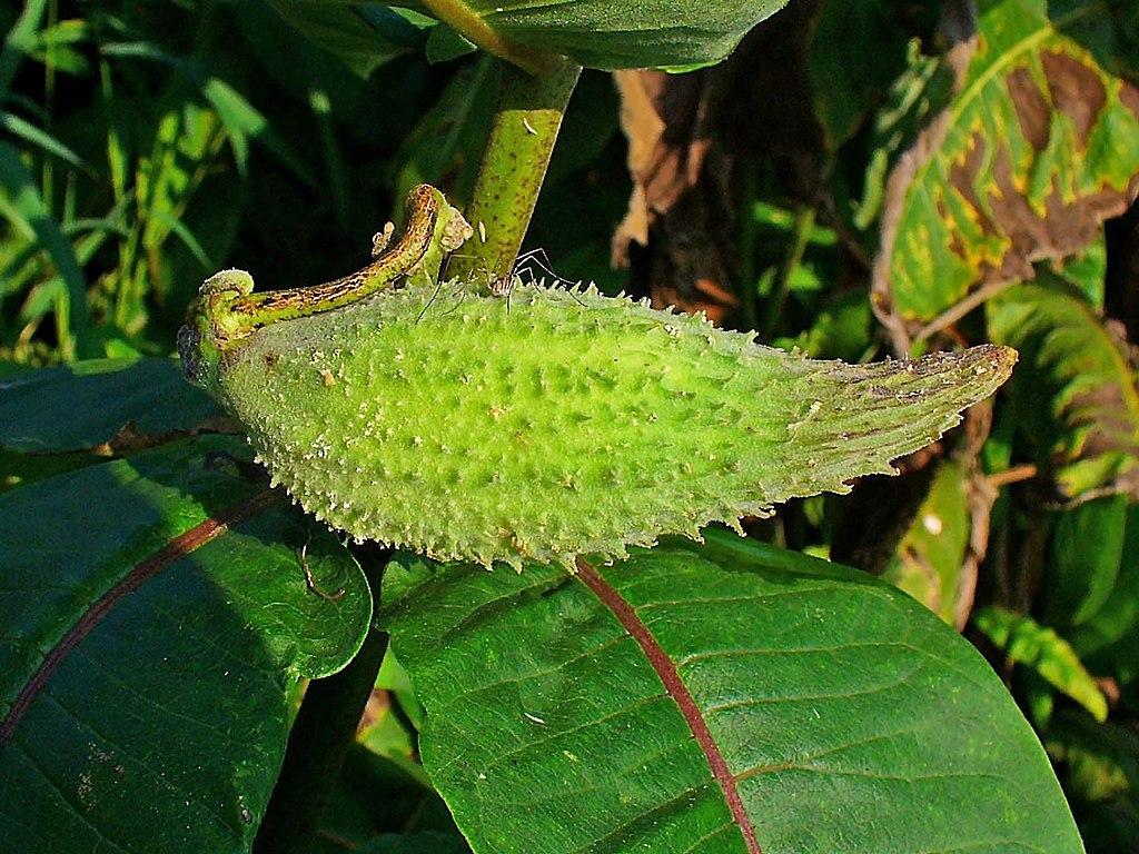 Asclepias syriaca o pianta dei pappagalli