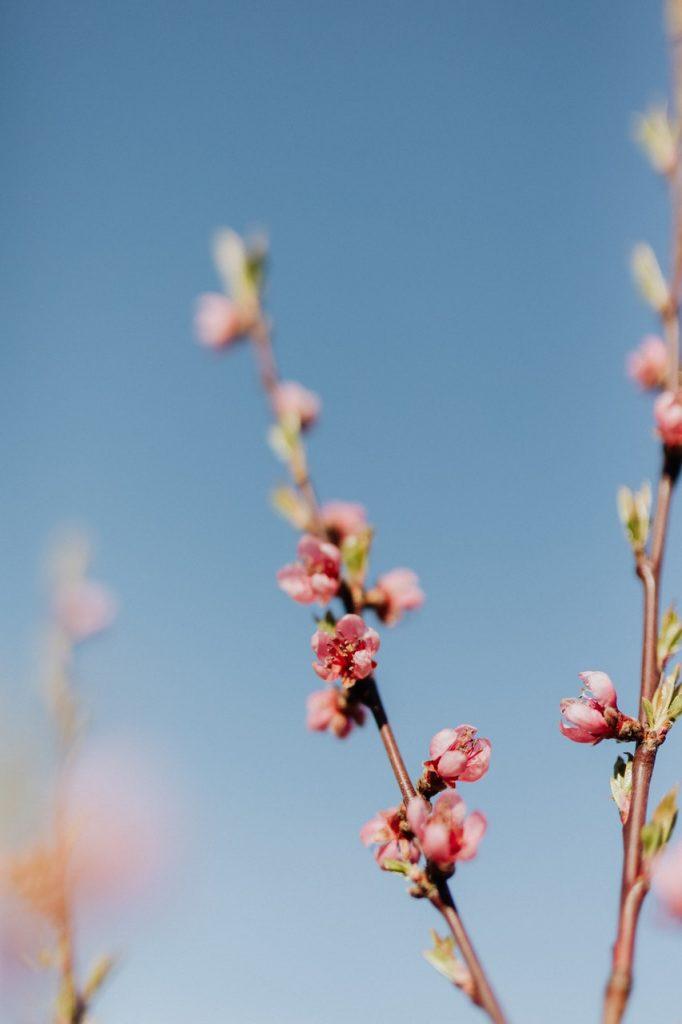 cydonia pianta fiore di pesco