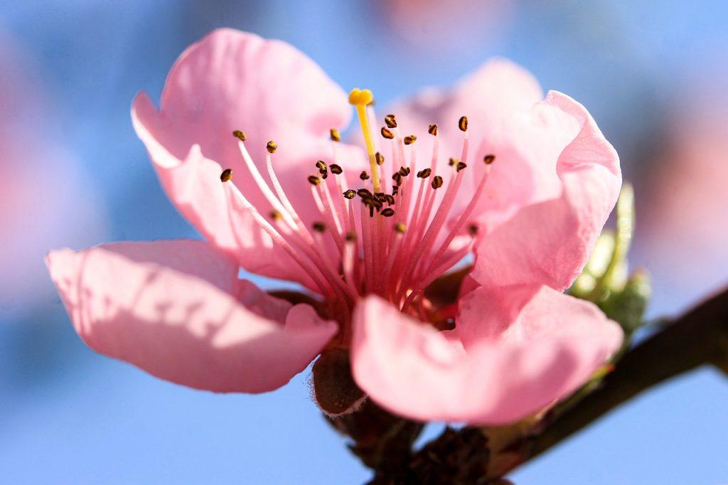 fiore di pesco cydonia